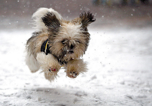Tiny Shih Tzu puppy runs in the snow.