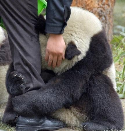 they-all-leave:  A scared panda clings to a police officer's leg after an earthquake hits China.