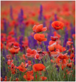 Red Poppy &  Purple Sage (Красно-фиолетово) by Bebekk_@ on Flickr.