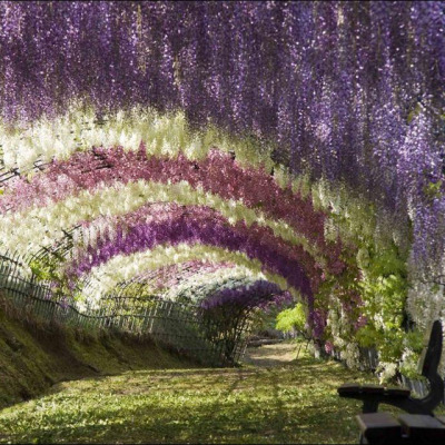 janifericheng:  Since wisteria is in the lavender family, that tunnel must smell absolutely beautiful! *sigh* (via Fancy - Kawachi Fuji Garden Wisteria Tunnel)