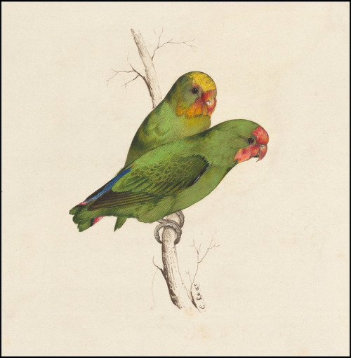 fullbloom:  (via BibliOdyssey: Lear's Parrots - The Prequel)