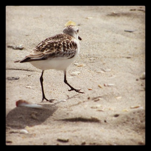 It's hard to get a good picture of these Sandpiper's as they walk so fast they're out of my lens too quickly. Finally, a good one.