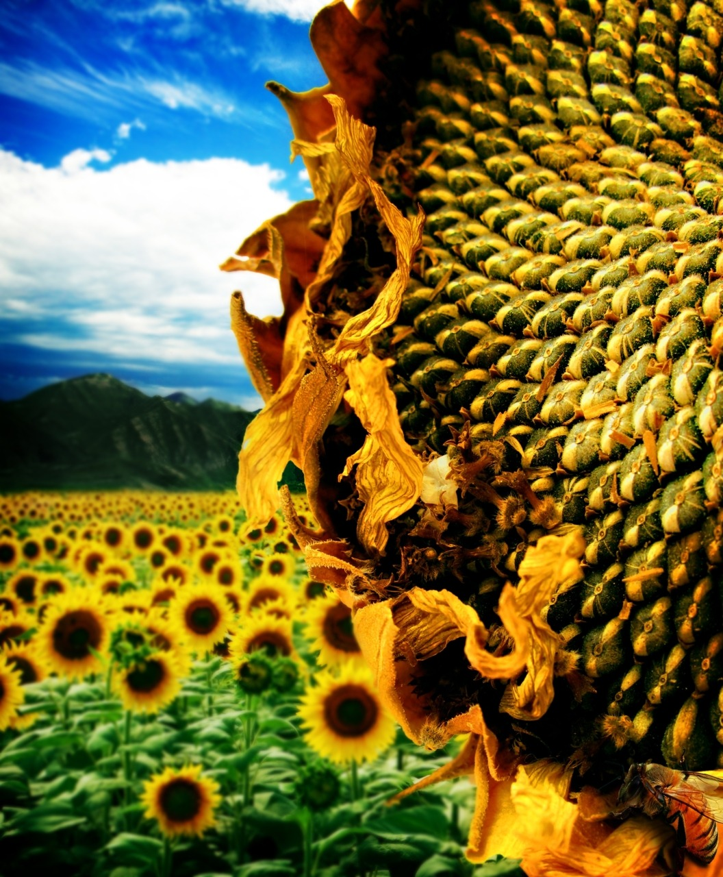 "The sunflower is a member of the plant family Asteraceae, or Compositae. Asters are remarkable for their type of inflorescence, which is a head of florets. What this means is that what we consider to be the ""flower"" of the sunflower is actually made up of lots and lots of little flowers, called florets. The center, darker florets are disc florets, while the outer, petal-like ones are ray florets.Sunflower seeds are indehiscent achenes."