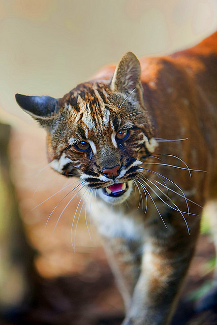 tigersandcompany:  Asian Golden Cat (by sparky2000)