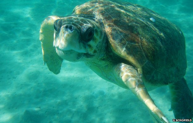 "mad-as-a-marine-biologist:  Loggerhead turtles take 45 years to grow up by Victoria Gill Science reporter, BBC Nature A female turtle, the researchers report in the journal Functional Ecology, will not start to lay eggs until she is 45. This estimate, based on examination of several decades of data on the turtles' growth, has implications for conservation efforts. It reveals how long it takes for turtles hatched at a protected nesting site to return to that site to breed. Prof Graeme Hays from the University of Swansea, one of the authors of the study, explained how reaching maturity so slowly meant that the turtle population was ""less resilient"" than previously thought. Read More"