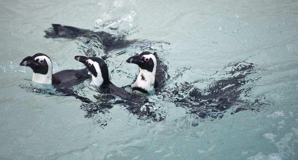 "Gay penguin separation means survival of the species: zoo keepersSplitting up a pair of potentially homosexual African penguins and pairing them with females might sound anti-gay, but keepers at the Toronto Zoo insist they are simply trying to preserve the species.Pedro, 10, and Buddy, 20, were brought to the Toronto Zoo this year from Pittsburgh's National Aviary to ""pair-bond"" with a couple of eligible females. Instead, the pair bonded with each other. Zookeepers now report seeing the pair snuggling, calling to each other and displaying courtship behaviour.This week, the Toronto Zoo says it will be forced isolate the pair.""The two girls have been following them; we just have to get the boys interested in looking at them,"" said Tom Mason, curator of birds and invertebrates at the Toronto Zoo.With Pedro and Buddy's species on the cusp of extinction, Mr. Mason insists that the Toronto Zoo cannot afford to let a season go by without passing on the pair's genes. ""If [Pedro and Buddy] weren't genetically important, then we'd let them do their thing,"" Mr. Mason said. (Photo: Ken Ardill/Toronto Zoo)"