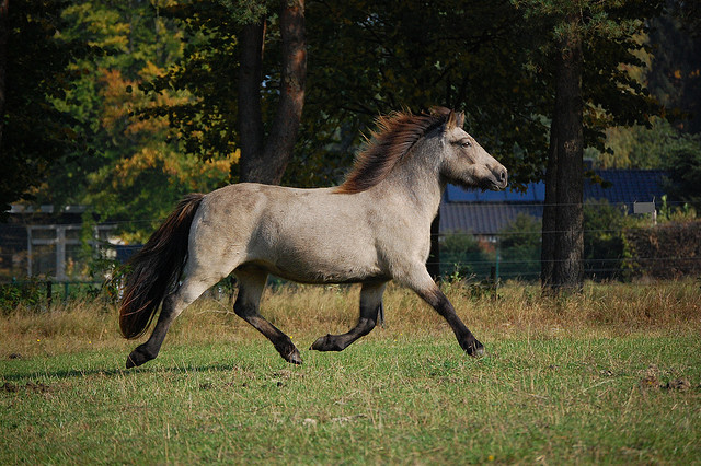 Movement studies of a buckskin mare 01 by Thylja on Flickr.