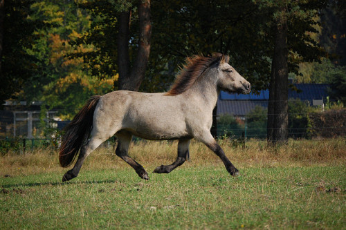 theequus:  Movement studies of a buckskin mare 01 by Thylja on Flickr.