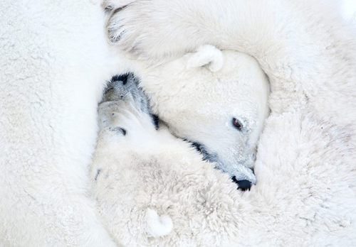 neiture:  Polar Bears Hugging | image by Daisy Gilardini