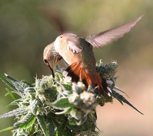 Amazing photos of stoney hummingbirds by Jeff Scheetz (http://www.flickr.com/photos/doobieduck/4412141258/in/photostream)