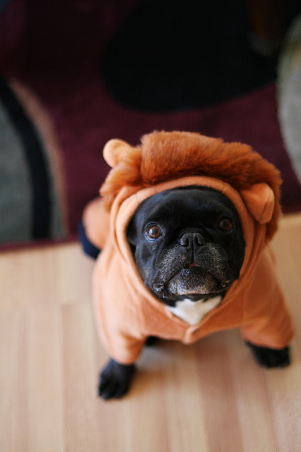 dailyfrenchie:  Lion King?  RAWR.