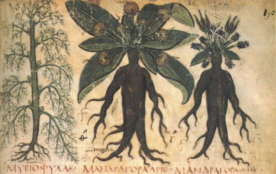 Old superstition stated that anyone who pulled out a mandrake root would die. Because of that, people would dig around the mandrake, tie a rope around it, and have a dog pull it out instead. This drawing is a from a copy of Dioscorides' Materia Medica, an herbal written in the first century that was in use through the 1500's.