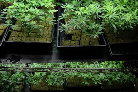 Licensed California medical marijuana growers are finding themselves under increasing threat of federal raids.   (Marijuana plants sit on a rack at the Berkeley Patients Group March 25, 2010 in Berkeley, California. (Photo by Justin Sullivan/Getty Images))