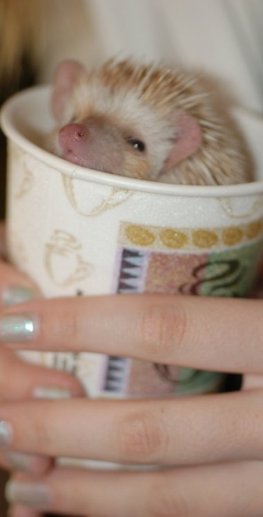 ielamorry:  Hedgehog Cappucino