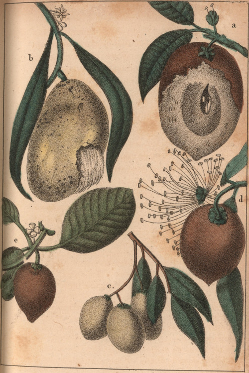"French botanical illustrations from the m1800s of caribbean ""unknown"" fruits. Wow! what is a mombin? When ever i think ive learned all of the fruit types new ones come along daily!! Description/notes:  Sapodilla fruit, mango fruit, cirouelle fruit, rose apples, and a  plum-like fruit known as mombin."