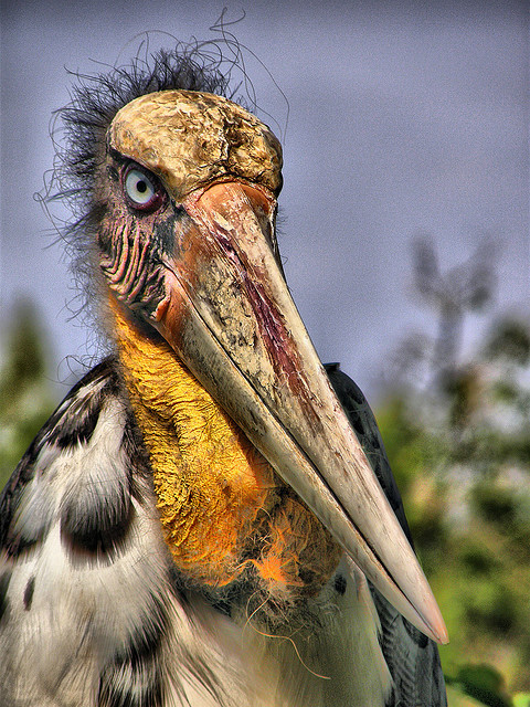 rhamphotheca:  Greater Adjutant Stork (Leptoptilos dubius), Cambodia (photo: Dr. Fitz)