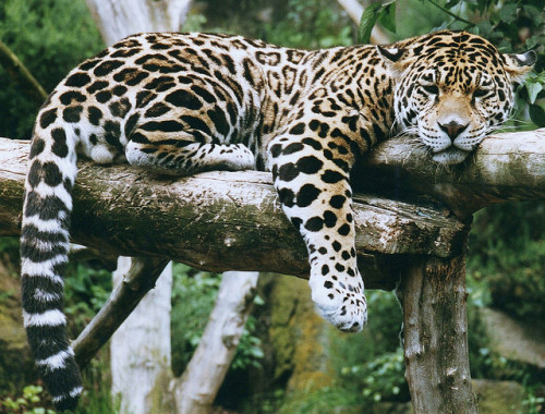 fuckyeahfelidae:  Jaguar.-Panthera onca by Zooman2009 on Flickr.
