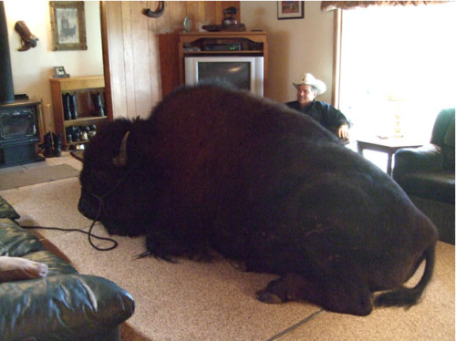 "From the Department of Awesome Pets: Meet Jim Sautner and his pet buffalo, Bailey Junior. Weighing 1,820 pounds, Bailey might just be the world's largest domestic pet.  Jim's wife Linda says of her husband and the buffalo: ""They have shared a bond since Bailey Junior was only a few weeks old when we adopted him after the tragic death of the first buffalo that Jim and I had raised. Bailey Sr had become a family member. I guess he became our baby. I know that sounds bizarre."" Photo by the Sautner Family [via Telegraph.co.uk]"