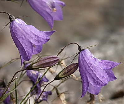 Harebell, Campanula rotundifolia, is a fairly rare plant, at least in Vermont. It is a member of the Campanulaceae family, the Bellflower family. They have a five-parted flower, meaning they have five petals and five sepals (the green leaf-like things you see below the petals of flowers). Members of the family produce milky latex when damaged.