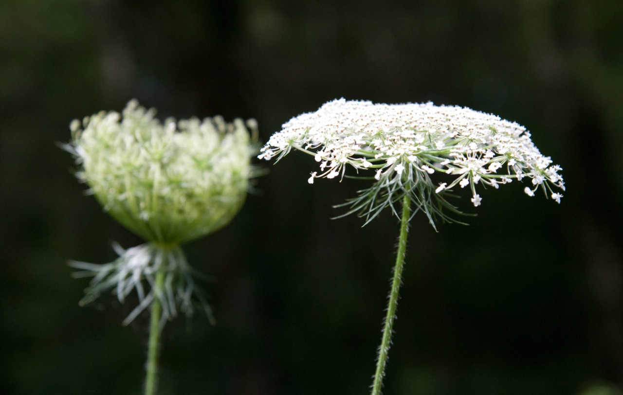 Queen Anne's Lace, Daucus carota, is a member of the Apiaceae family, which is also known as the Umbelliferae family, because of the shape of its inflorescences.The tiny flowers are arranged in an umbel, which is a collection of flowers on stems originating from a single point, forming a slightly curved head of flowers.