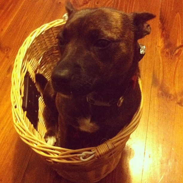 Dog-in-a-bike-basket training begins now.  (Taken with instagram)