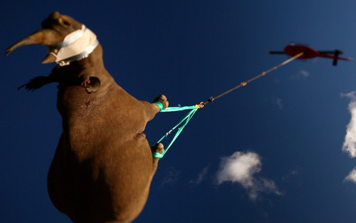 What's the best way to move an endangered rhino? Helicopters, of course.