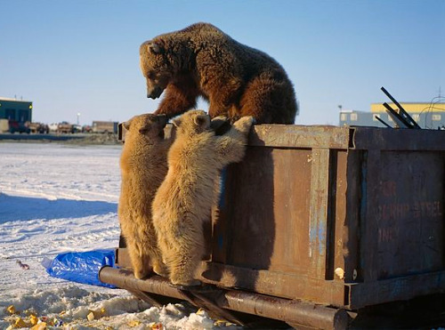 "kateoplis:  Winners & Losers in Arctic Oil Fields  ""A mama grizzly bear and her two cubs scavenge for food in a Prudhoe Bay Dumpster and illustrate a major issue around Prudhoe Bay-animals becoming accustomed to feeding on human trash."" csóri grizlik kukázni kényszerülnek"