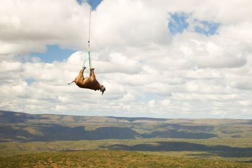 Rare Black Rhinos Airlifted to Safety