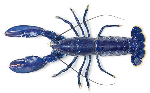 wnycradiolab:  Startlingly cerulean. This lobster's now living in the London Aquarium, after being spotted in a fish market.  More here.