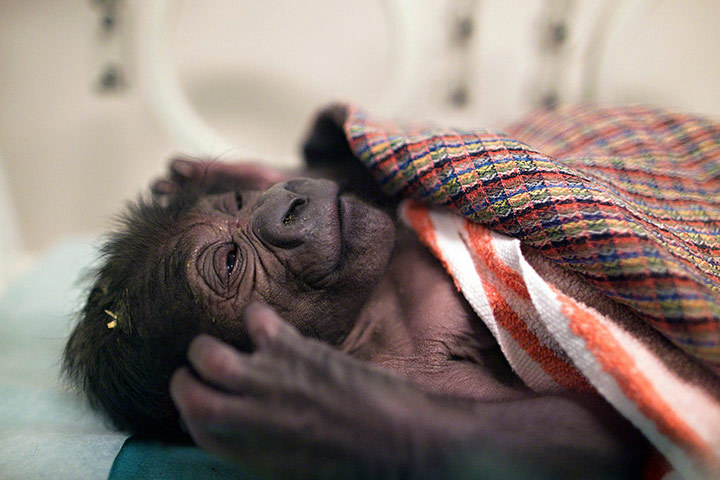 rhamphotheca:  allcreatures: A newborn Gorilla in an incubator at the Prague Zoo, Czech Republic.   (Photo: Tomas Adamec/AFP)