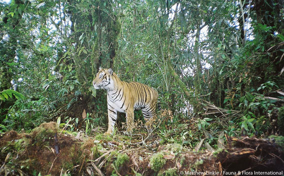 "First ever survey shows Sumatran tiger hanging on as forests continue to vanish Jeremy Hance The first-ever Sumatran-wide survey of the island's top predator, the Sumatran tiger (Panthera tigris sumatrae), proves that the great cat is holding on even as forests continue to vanish. The study, carried out by eight NGOs and the Indonesian government, shows that the tiger is still present in 70 percent of the forests surveyed, providing hope for the long-term survival of the subspecies if remaining forests are protected.  ""This survey  is a milestone for Sumatran tigers. The results provide the most up-to-date and reliable information ever collected for this Critically Endangered subspecies and is the first time that such a large number of organizations have worked together so effectively,"" lead author Hariyo Wibisono of the Wildlife Conservation Society (WCS) and chairman of the Sumatran Tiger Forum (HarimauKita) said in a press release. WCS was joined by Panthera's Tigers Forever program, Fauna and Flora International (FFI), and the World Wide Fund for Nature (WWF) among others. Researchers surveyed 13,500 kilometers of forest transects seeking indirect signs of the tiger, such as footprints. They found new priorities for tiger conservation, including the Leuser-Ulu Masen landscape in Aceh Province. ""This study puts Aceh's previously unsurveyed forest firmly on the map as a global priority for wild tigers in Asia,"" explained co-author Matthew Linkie with FFI. Notably, Aceh has implemented an effective logging moratorium since 2007, preserving its forests. Another region that showed tigers doing well was the Kerinci Seblat-Batang Hari forest landscape. Read more  ** Some good news at last **"