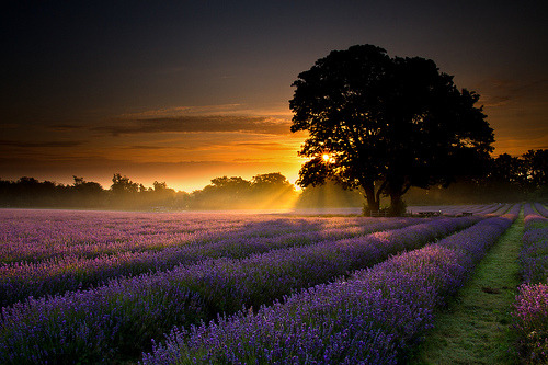 Something beautiful for your day Mayfair Lavender First Light  By Tired but Willin