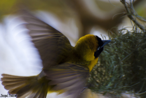 A weaver bird builds a nest in the Kruger National Park, South Africa.