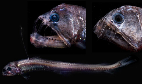 Viperfish (Chauliodus sloani) - Requested by Anonymous  The viperfish is one of the most unusual-looking fish in the deep sea. It is also one of the most popular and well-known species. It is one of the fiercest predators of the deep. This fearsome looking creature has a long dorsal spine that is tipped  with a photophore, a light-producing organ. The viperfish uses this  light organ to attract its prey through a process known as bioluminescence. By flashing the light on and off, it can be used like a fishing lure to attract smaller fish. In spite of its ferocious appearance, the viperfish is a relatively  small animal, growing to about 11 or 12 inches (30 centimeters) in  length. They have a hinged skull, which can be rotated up for swallowing  unusually large prey. They also have very large stomachs that allow them  to stock up on food whenever it is plentiful. Viperfish are known to be preyed upon by sharks and some species of dolphin.