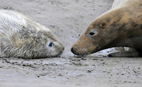 A grey seal mom and her young pup hang out nose to nose on the sandy shore of Donna Nook in eastern England on Nov. 9. Grey seals populate both shores of the North Atlantic Ocean, and one of Great Britain's largest colonies is in Donna Nook.MNN's photos of the week