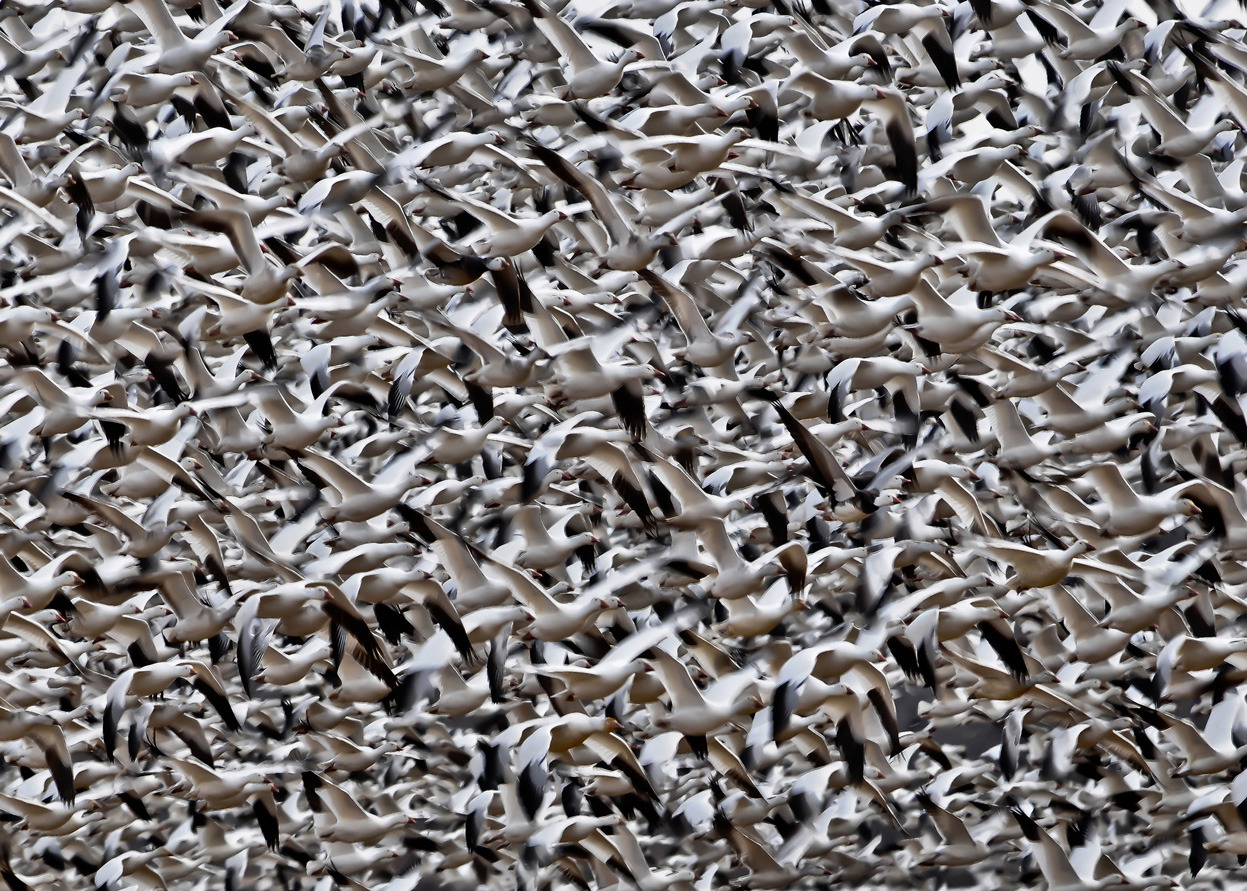 A flocking, massed, clustered, swarm: slews of Snow Geese fly to who-knows-where.  More: Snow Geese in flight. Kleinfeltersville, Pennsylvania. (© Charles Funk) #