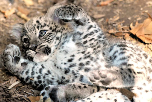 allcreatures:  A baby Persian leopard enjoys the autumn sun at the Bio Park in Rome, where he was born September 1. The Persian leopard, the largest leopard subspecies, is an endangered species. It is native to an area stretching from eastern Turkey to western Afghanistan, but there are only around 1,000 animals in the wild. Picture: Massimiliano Di Giovanni/AP (via Animal pictures of the week: 11 November 2011 - Telegraph)