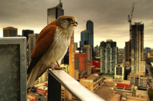 qi-tah:  theanimalblog:  urban raptor (by mugley)  Always reblog peregrines over Melbourne. :))