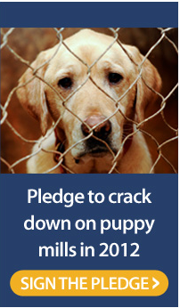 Sign the pledge from the Humane Society Legislative Fund to help stop puppy mills. PLEASE!! Facts:  Puppy mills usually house dogs in overcrowded and often unsanitary conditions, without adequate health care, food, water or human company. The breeding dogs are bred as often as possible to increase profits and probably will never see life outside of the puppy mill. The owners rarely pay attention to the health or happiness of the dogs. Puppy mills often generate health problems for the dogs they are selling. The puppies may have immediate health problems such as respiratory infections or pneumonia and some even have genetic diseases that show up years later. Breeding dogs suffer continuously, imprisoned in small cramped cages, often soiled with their own excrement, breeding litter after litter till they can no longer reproduce. No states have laws against a breeding kennel legally keeping dozens of dogs in cages for their entire lives, if food, water, and shelter are provided. Thousands of puppy mills aren't even regulated or inspected by the USDA, since many of them sell directly to the public. The average puppy mill has between 65 and 75 animals housed in hutch-style cages with wire floors. The waste drops to the ground below and accumulates beneath the cage where flies and other gross things fester. Dogs at puppy mills are often not actually purebred, and the breeders sometimes lie about lineage records. Dogs housed in indoor facilities deal with equally terrible conditions, with ammonia vapors and odors permeating badly aired buildings. Solid surfaces aim to protect the legs of puppies, but as they mature and scout out their surroundings, feet and legs often fall through wire floors designed to allow excrement to fall through. The resulting injuries compound their misery. Unlicensed puppy mills often sell puppies at six weeks of age even though federal laws prohibit licensed mills from selling puppies under eight weeks of age.  Will you sign this pledge from the Humane Society Legislative Fund to help make 2012 the year to crack down on puppy mills once and for all?