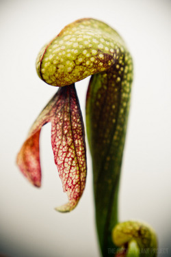fuckyeahcarnivorousplants:  Darlingtonia californica