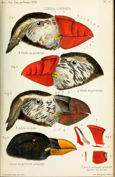 Lunda cirrata [now Fratercula cirrhata] - Tufted Puffin Like other puffins, tufted puffins have vastly different breeding and winter plumage, along with horny coverings on the bill during the breeding season. Bulletin de la Societe Zoologique de France. 1879.