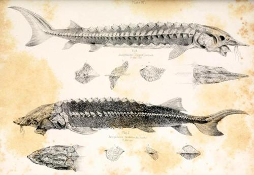 biomedicalephemera:  Acipenser transmontanus and Acipenser rupertinus (now Acipenser fulvescens) - White Sturgeon and Lake Sturgeon Some fish are just plain terrifying. Fauna Boreali-Americana; or the Zoology of the Northern Parts of British America. John Richardson, 1836.