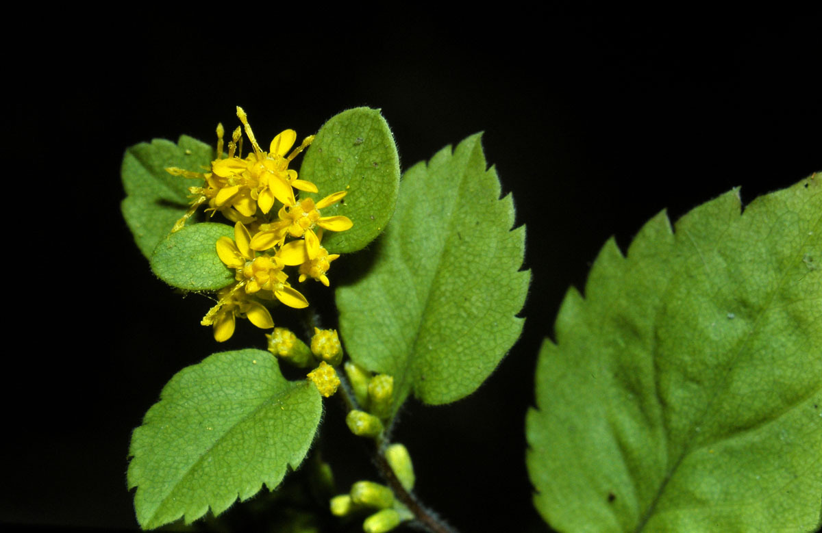 Goldenrods are notoriously difficult to identify, but Solidago flexicaulis is easy to spot because of its zigzaged stem, which gives it the name Zigzag goldenrod. It has sharply toothed, egg-shaped leaves and short clusters of flowers.It is a member of the Asteraceae family.