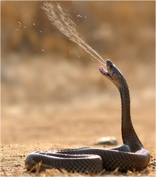 "Two things make spitting cobras more terrifying than your average venomous snake. The first is obvious: they have projectile weapons. The second is less so: they can see into the future. There are around a dozen species of spitting cobra, and all of them ""spit"" by squirting venom through small holes in the front of their fangs. Their venom can blind, and the cobras aim for the eyes. They wait until their target makes a jerky movement of their head, predict its position 200 milliseconds later and shoot at where their eyes are going to be. Source"
