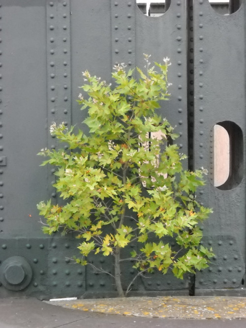 Submitted by Deb Wiles:  Self sown tree on a railway bridge near London Charing Cross.