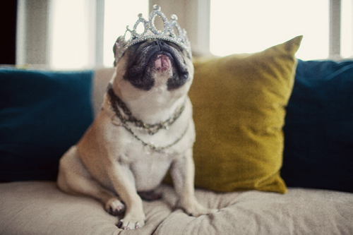 dailyfrenchie:  The Queen!