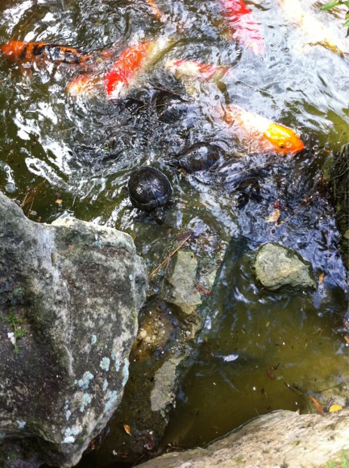 Battle Royal between turtles and koi fish for foods!