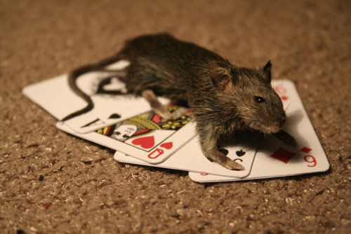 Taxidermy mouse brooch/pin on playing cards