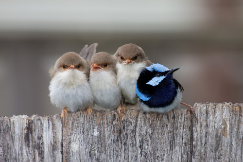 theanimalblog:  (by ppv247)  Three little birds and their homie