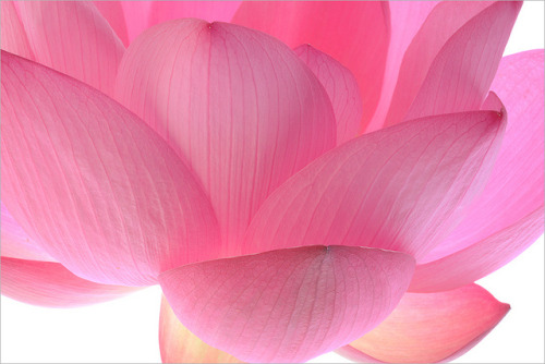 whirlwindofcolor:  pink - IMG_4674-1000 by Bahman Farzad on Flickr.